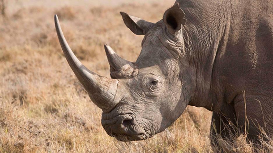 rhino-white_rhino